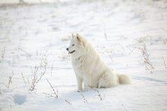 在雪的白色狗萨莫耶特人戏剧 免版税库存图片
