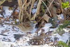 在雪的白色红喉刺莺的麻雀 库存照片