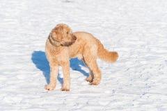 在雪的白色长卷毛狗 免版税库存照片