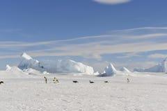 在雪的皇企鹅 免版税图库摄影