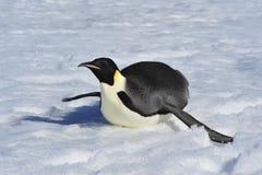 在雪的皇企鹅 免版税库存照片