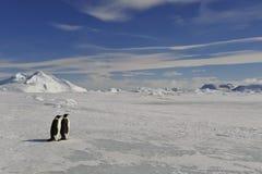 在雪的皇企鹅 免版税库存图片