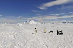 在雪的皇企鹅 库存图片