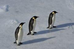 在雪的皇企鹅 库存照片