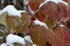 在雪的秋叶 库存图片