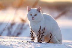 在雪的空白猫 免版税库存照片