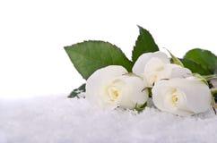 在雪的空白玫瑰 免版税库存图片