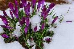在雪的第一朵番红花 免版税库存图片