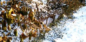 在雪的篱芭 免版税库存图片