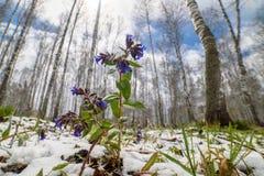 在雪的紫罗兰色花在森林里在春天 免版税库存图片
