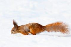 在雪的红松鼠 免版税库存图片