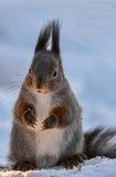 在雪的红松鼠 库存图片