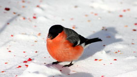 在雪的红腹灰雀 库存图片
