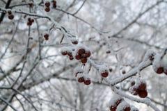 在雪的红色浆果 库存照片
