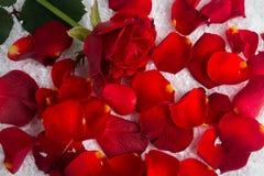 在雪的红色玫瑰与瓣 库存照片