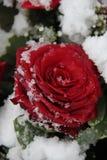 在雪的红色玫瑰 库存图片