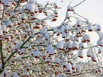 在雪的红色花揪 免版税库存图片