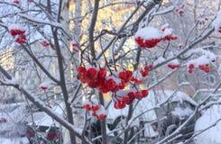 在雪的红色花楸浆果 免版税库存照片