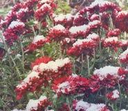 在雪的红色菊花 背景 免版税库存照片