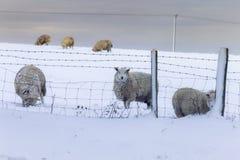 在雪的绵羊在英国 库存图片