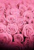 在雪的美丽的桃红色玫瑰 免版税库存图片