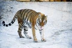 在雪的美丽的野生阿穆尔河老虎 免版税图库摄影