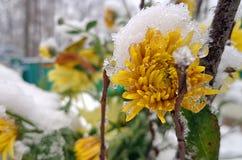 在雪的美丽的黄色菊花 免版税库存图片