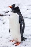 在雪的美丽的gentoo企鹅在南极洲 库存图片