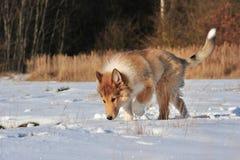 在雪的美国大牧羊犬 免版税库存图片