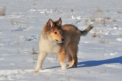 在雪的美国大牧羊犬 库存图片