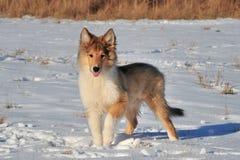 在雪的美国大牧羊犬 免版税图库摄影