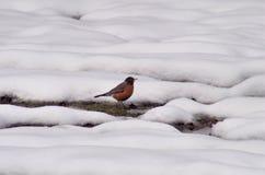 在雪的美国知更鸟 免版税库存图片