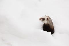 在雪的美好的狂放的白鼬比赛 免版税图库摄影