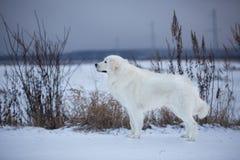 在雪的美好的maremmano-abruzzesse护羊狗身分在领域在冬天 库存图片