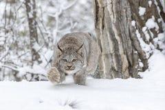 在雪的美洲野猫 免版税库存照片