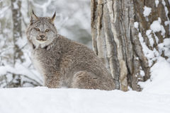 在雪的美洲野猫 免版税库存图片