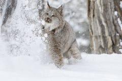 在雪的美洲野猫 库存照片