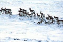 在雪的羚羊或橛垫铁 免版税库存照片