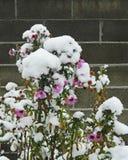 在雪的翠菊 库存照片