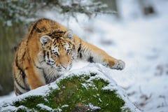 在雪的老虎在攻击前 免版税库存图片