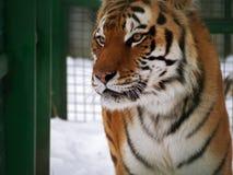 在雪的老虎橙色猎人 免版税库存照片