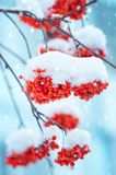 在雪的花揪 免版税图库摄影