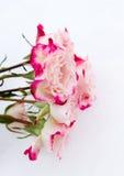 在雪的花桃红色玫瑰 库存照片