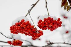 在雪的花楸浆果 免版税图库摄影