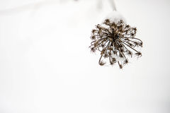 在雪的花 免版税图库摄影