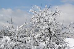在雪的苹果计算机树 库存照片