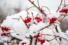 在雪的荚莲属的植物 库存照片