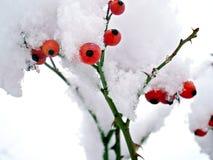 在雪的莓果加盖冬天 免版税库存图片