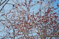 在雪的莓果 库存图片