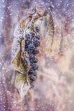 在雪的莓果 免版税图库摄影